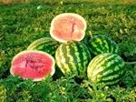 Семена арбуза Кримсон-Свит
