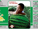 Семена арбуза Мальчик F1