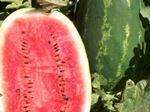 Семена арбуза САМАНТА F1 (Samanta F1)